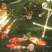 Photo Thumbnail #5: Imported from Japan, 2 platinum, 3 Kohaku and 3...