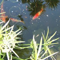 Photo Thumbnail #7: Kohaku and Sanke Koi