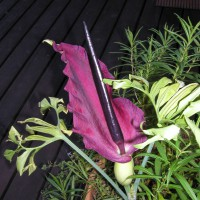 Photo Thumbnail #19: Arum (corpse flower)