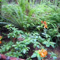 Photo Thumbnail #11: Orange Azalea blossoms along my forest trail...