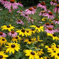 Photo Thumbnail #1: coneflowers and black-eyed susans