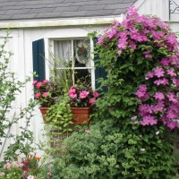Photo Thumbnail #28: clematis at the shed