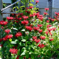 Photo Thumbnail #8: Red Monarda, right beside a smaller arbour - to...
