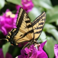 Photo Thumbnail #13: Monarch chilling on our Bouganvilla