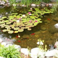 Photo Thumbnail #1: our established pond