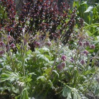 Photo Thumbnail #7: I like to use burgundy foliage in my gardens...
