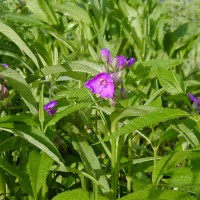 Photo Thumbnail #2: Spiderwort can become invasive. I make sure I...