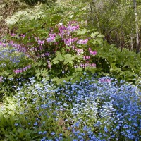Photo Thumbnail #11: Forget-Me-Nots, Bleeding Heart, Varigated...