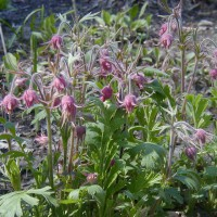 Photo Thumbnail #6: Prairie Smoke adds a softness to the Spring...