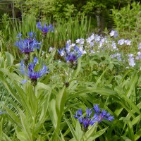 Photo Thumbnail #12: Perennial Bachelor Button and Jacobs Ladder