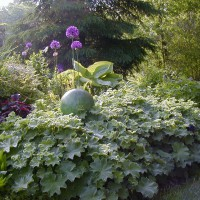 Photo Thumbnail #17: www.larksperennials.com     Ladies Mantle is a...