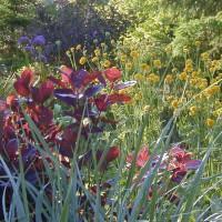 Photo Thumbnail #13: Lyme Grass, Elijah Blue, Smokebush and Button...