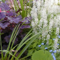 Photo Thumbnail #10: Here the burgundy is Coral Bells, Plum Pudding.