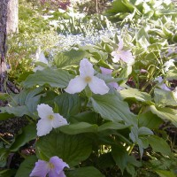 Photo Thumbnail #8: Trilliums really make my shaded area pop. They...