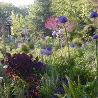 Photo Thumbnail #14: The last 5 years I have planted Alliums in...