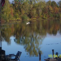 Photo Thumbnail #3: A visit from some swans