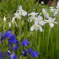 Photo Thumbnail #11: White Siberian Iris and Blue Columbine.