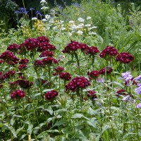 Photo Thumbnail #4:  This Sweet William adds that punch of deep...