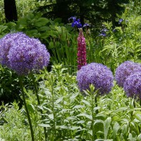 Photo Thumbnail #7: I LOVE Alliums...nothing eats them.