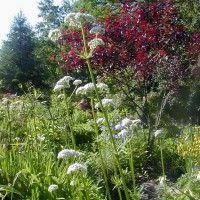 Photo Thumbnail #13: This white Valerian is an herb. It is a \'GO...