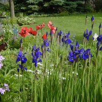 Photo Thumbnail #21: The deep blue Siberian Iris and the orange...