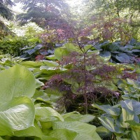 Photo Thumbnail #17: Sum and Substance, Japanese Maple and Great...