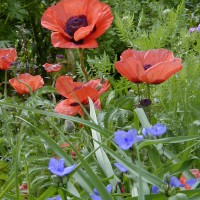 Photo Thumbnail #8: Orange Oriental Poppy and blue Spiderwort is a...