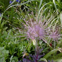 Photo Thumbnail #2: This Allium is my favorite, Schubertii,...