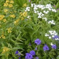 Photo Thumbnail #3: Yellow Wild Milkweed, feverfew  and Clustered...