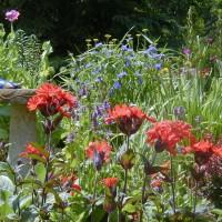 Photo Thumbnail #1: Lycnis, blue Spiderwort and burgundy Pygmy...