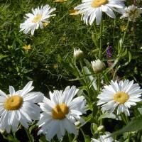 Photo Thumbnail #7: Shasta Daisy