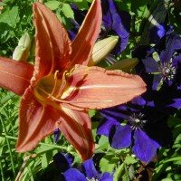 Photo Thumbnail #5: This is what we call our ditch daylilly....