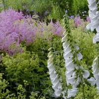 Photo Thumbnail #15: Pink Astillbe, Ladies Mantle and White Foxglove.