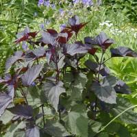 Photo Thumbnail #2: White Snakeroot. I like the burgundy foliage...
