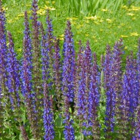 Photo Thumbnail #17: Meadow Sage \'Maynite\' blooms about 2 months...