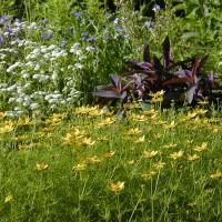 Photo Thumbnail #8: Coryopsis Tickseed, Feverfew and a burgundy...
