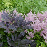 Photo Thumbnail #14: Pink Astillbe and Cimicifuga \'Hillside Black...