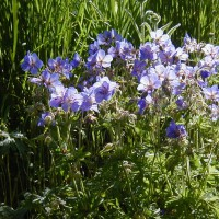 Photo Thumbnail #11: Cranesbill Johnsons Blue