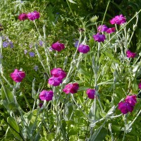 Photo Thumbnail #10: Rose Campion some people think is a weed. I...