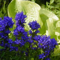 Photo Thumbnail #1: Clustered Bellflower and hosta Sum and...