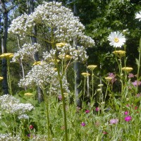 Photo Thumbnail #9: This white Valerian is a herb and VERY...
