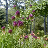 Photo Thumbnail #14: Excellent allium for naturalizing and late...