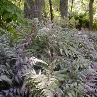 Photo Thumbnail #17: Japanese Ferns