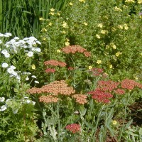 Photo Thumbnail #4: Paprika Yarrow, Feverfew and \'Goldfinger...