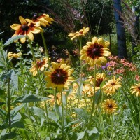 Photo Thumbnail #13: Bright faces of Gloriosa Daisies which I leave...