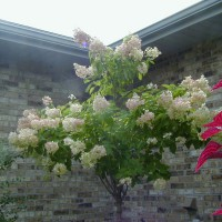 Photo Thumbnail #12: PeeGee Hydrangea Tree that was planted Fall of...
