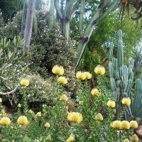 Photo Thumbnail #6: Yellow Leucospermums in bloom.  I have an...
