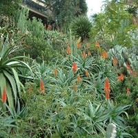 Photo Thumbnail #16: View towards the house with aloes blooming.