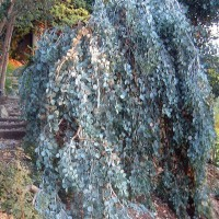 Photo Thumbnail #14: A weeping form of the Silver Dollar Eucalyptus....