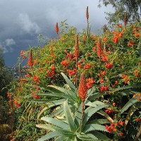 Photo Thumbnail #8: A Senecio vine growing amongst an Aloe...